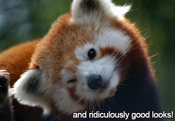 Red panda image for design facts blog